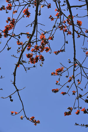 Kapok tree blossoming red orange flower Cotton Tree Beauty In Nature Blue Branch Clear Sky Day Flower Flowering Plant Food Freshness Fruit Tree Growth Kapok Low Angle View Nature No People Outdoors Plant Rowanberry Sky Spring Springtime Sunlight Tranquility Tree
