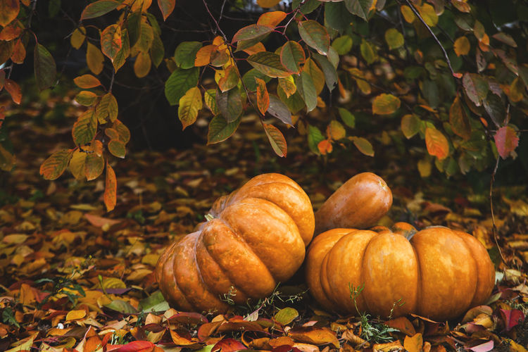 Close-up of pumpkins on autumn leaves