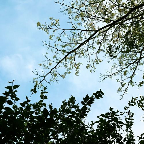 Nature Sky Nature Tree Flower Tree Low Angle View Nature Growth Branch Beauty In Nature Sky Day Outdoors