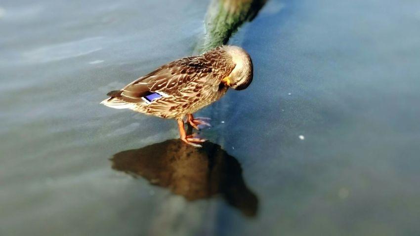 Duck Genesee Bathing
