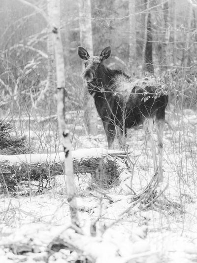 A SWEDISH MOMENT   Moose Animal_collection Animal Deer Nature Eye4photograghy EyeEm Bnw Black And White Photography Natureza Nature Photography Winter Snow Animal Themes Cold Temperature Nature One Animal Mammal No People Day Animals In The Wild Outdoors Snowing Sweden
