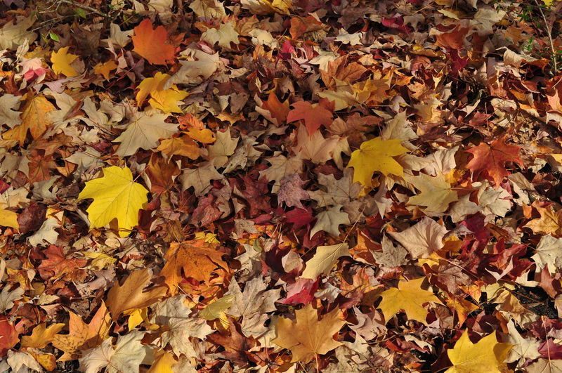 Autumn Beauty In Nature Change Leaf Leaves Maple Leaf Nature Outdoors Tree