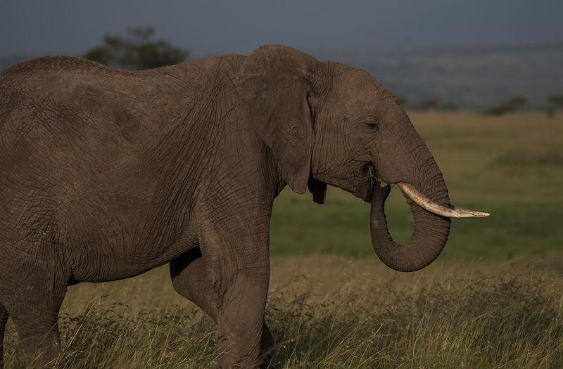 Elephant calf feeding carefree in the savanna Kenya Masai Mara National Reserve Wildlife & Nature Wildlife Photography African Elephant Elephant Calf Elephant Close-ups Elephant Feeding Free Animals Safari Wild Elephant
