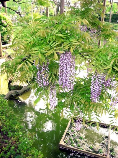 Blooming Day Flower Green Green Color Nature No People Outdoors Purple Water Wisteria Flower 藤の花