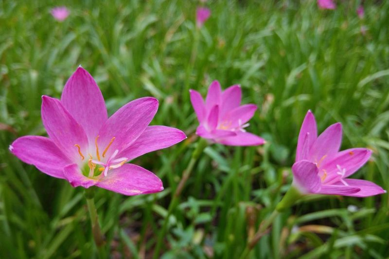 Zephyranthes Raindrops Rain Lily Zephyr Lily Fairy Lilly Atamasco Lily Crocus Lily Peruvian Swamp Swamp Lily Flower Nature Plant Beauty In Nature Close-up Freshness Day Outdoors Pink Flower