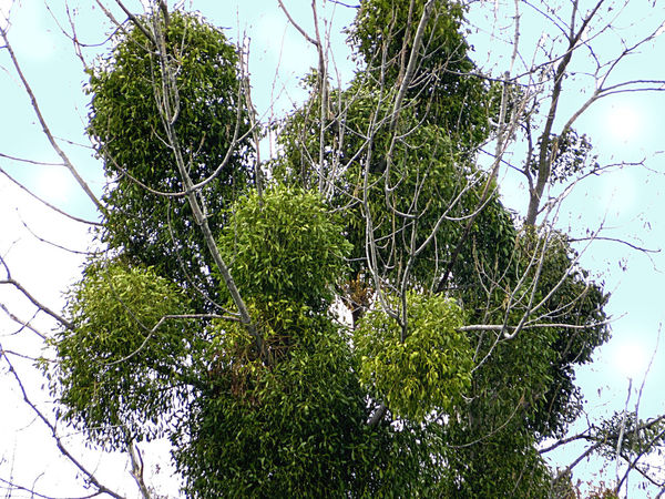 Infestation Mistletoe Outdoors Parasitic Plant Shapes In Nature  Tree Photography Tree_collection