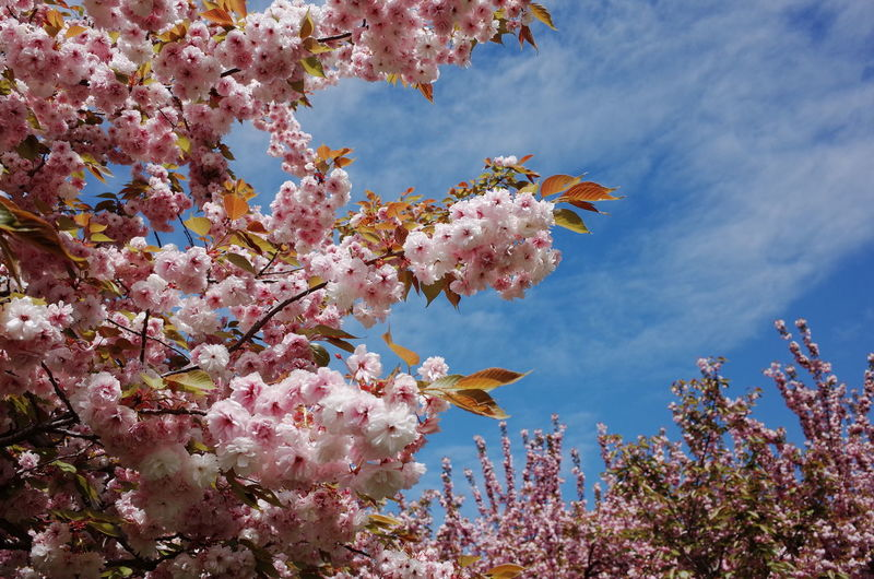 Low Angle View Of Cherry Blossoms Growing On Tree Against Sky