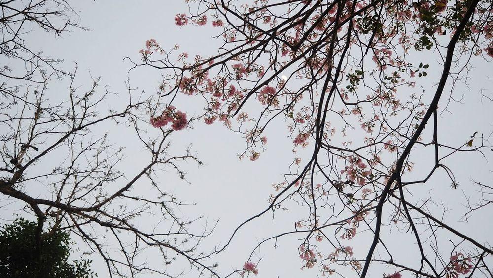 ชมพูพันทิพย์ Beauty In Nature Sky Tree Bangkok City Thailand Lieblingsteil
