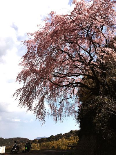 桜の旅🌸 Blue Sky Cherry Blossom Moto Life Motorbike EyeEm Japanese View いつか辿り着く場所 Motorcycle Tree Sky Plant Nature Low Angle View No People Growth Beauty In Nature