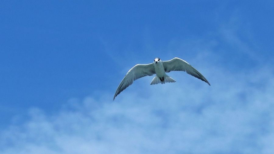 Low angle view of seagull flying against sky