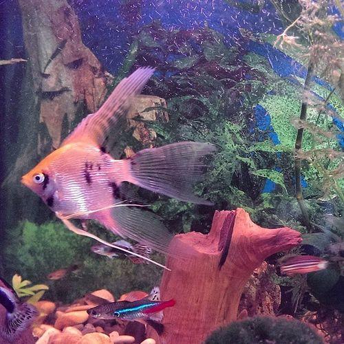 Мій акваріум Aquarium скалярія Pterophyllumscalare
