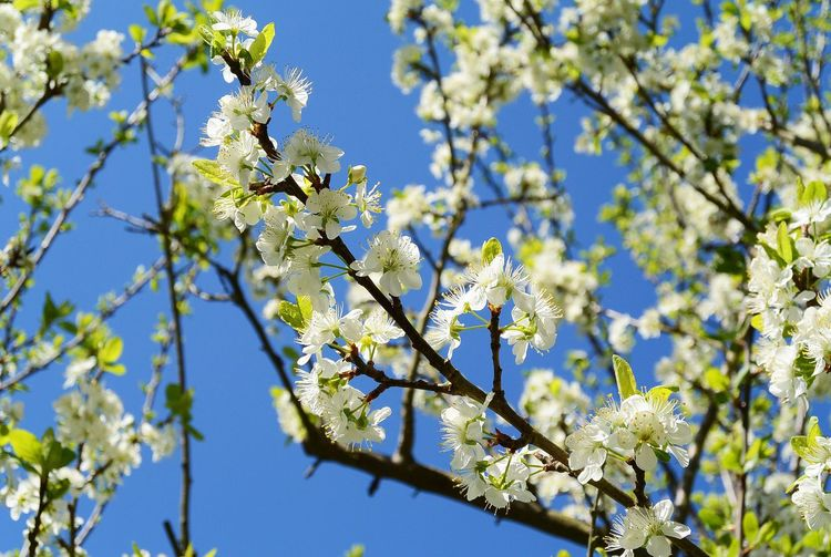 Springtime Blossom Apple Tree Apple Blossom Tree Blossoms Treeblossoms Plant Beauty In Nature Growth Tree Flower Flowering Plant Branch Springtime Blossom Close-up Nature Day Sky Freshness Sunlight