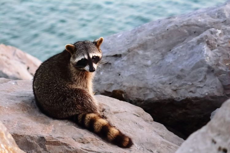 Close-up of raccoon sitting on rock
