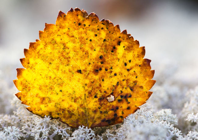 Yellow leaf Beauty In Nature Close-up Freshness Leaf Nature No People Outdoors Yellow Yellow Color