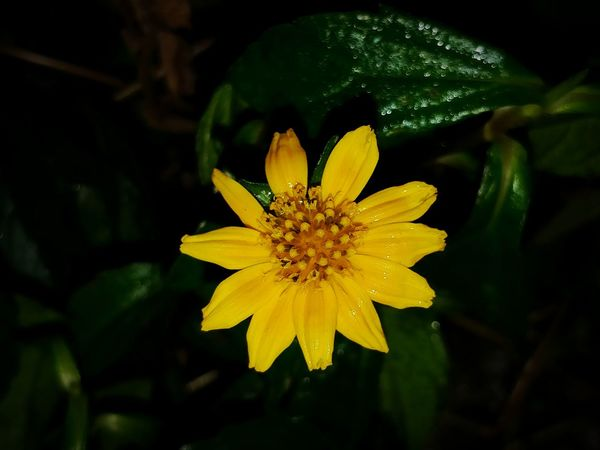 Nightphotography Winter Dew Drops On Flower Wetflower Flower Petal Fragility Yellow Freshness Nature Beauty In Nature Flower Head Close-up