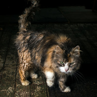 Angry Calico Disgusted Grumpy Rain Soaked Close-up Dilute Calico Feline Fur Long Hair Wet Cat