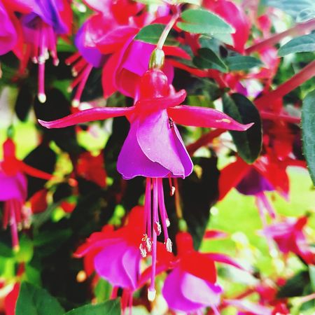 Flower Close-up No People Beauty In Nature Outdoors Freshness Plant Day Growth Flower Head Fragility Followforfollow Summertime Sunlight Color Colorfull Love Beauty Nature Purple Naturelovers Joyfull Gorgeous Ant Antz