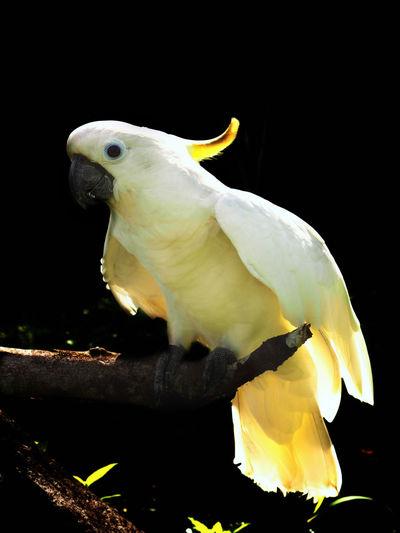 Animal Animal Themes Bird Black Background Close-up Cockatoo Nature White Color Yellow