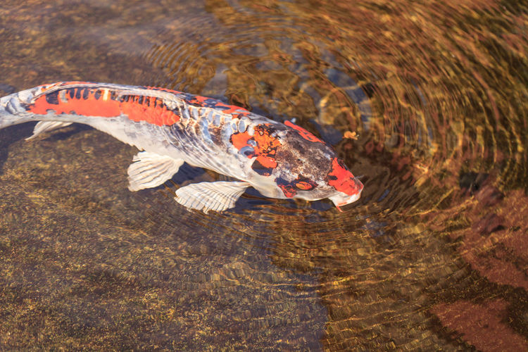 Koi fish, Cyprinus carpio haematopterus, eating in a koi pond in Japan Aquatic Carp Cyprinus Carpio Haematopterus Fish Garden Gosanke Koi Fish Pond Pond Life Taisho Sanshoku