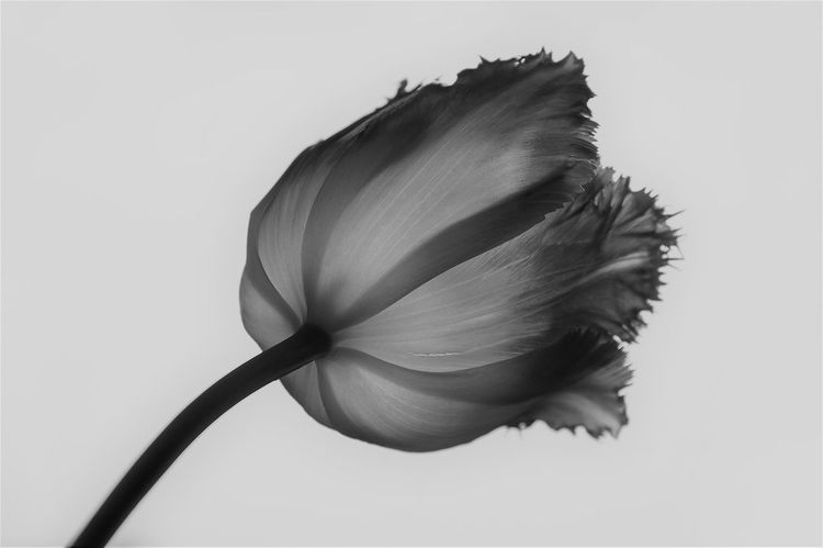 Beauty In Nature Black And White Black And White Photography Close-up Flower Flower Head Fragility Nature No People Plant Studio Shot Tulipa Tulipan White Background B&W Magic