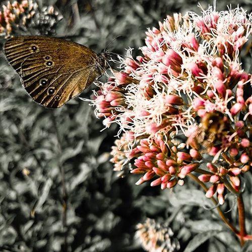 Colored, Butterfly , Schmetterling , Blume , Flower , Red , Bee , Biene , Summer , Nektar , Nectar , Bestäuben , Pollinate