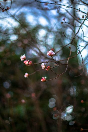 Nature Tree Beauty In Nature Branch Flower Blossom No People Winter Pink Color Outdoors Freshness Close-up Day Plum BlossomClear Sky Bookeh Bookehworld Fragility Flower Head