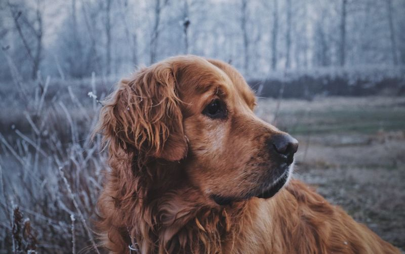 Dog Mammal Domestic Animals Pets One Animal Animal Themes Focus On Foreground Close-up Outdoors No People Retriever Nature Day Vscocam EyeEm Best Shots Pet Portraits
