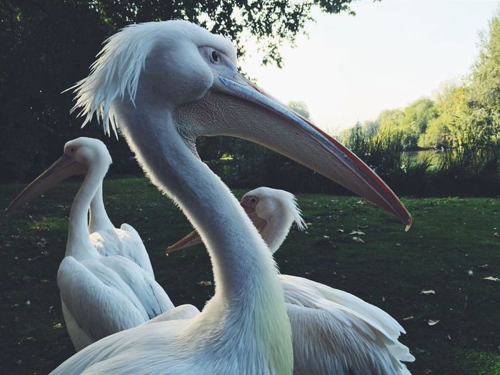 Four Pelicans in the park. Animal Themes Wildlife Bird Animals In The Wild Zoology Vertebrate Pelican Water White Color Beak Side View Animal Wing Avian Water Bird Animal Nature Animal London Park Life four 4 beak