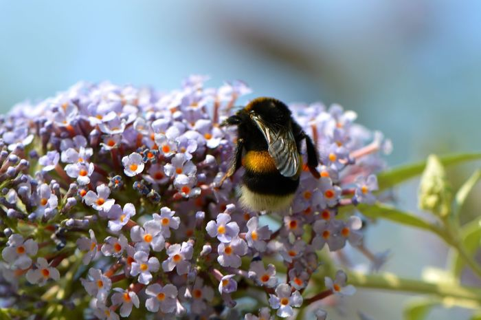 Bumblebee celebrating summer... Bumblebee Buddleia Buddleja Summer Lilac Butterfly Bush Bumble Bee Collecting Pollen Insect Insects  Outdoors Nature Close-up Macro Macro_collection Macro Insects Plant Petal Pollination Purple In Bloom Growth Freshness Blossom Beauty In Nature Animals Colour Of Life