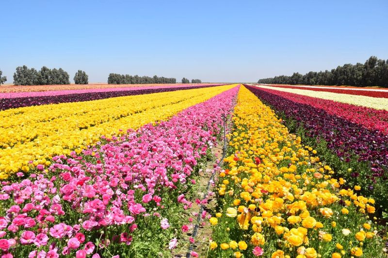 Freshness Flower Beauty In Nature Nature Rural Scene Yellow Multi Colored Agriculture Growth Field Variation Plant Vibrant Color Springtime Abundance Tree Flowerbed Scenics Landscape Outdoors in Israel Stripes Pattern Colors Spring Spring Flowers Paint The Town Yellow