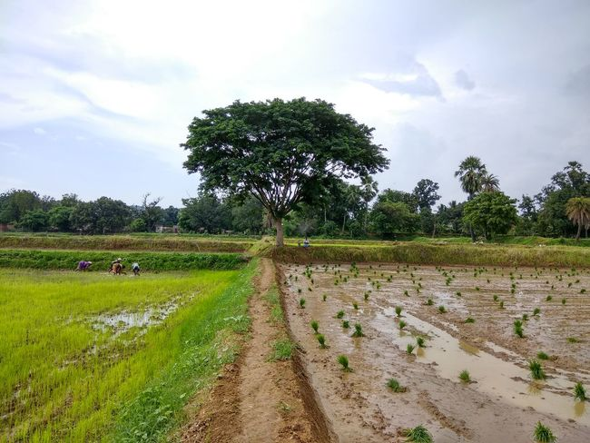 Tree Agriculture Cloud - Sky Nature Rural Scene Field Rice Paddy Outdoors Landscape Tranquility Day Growth Beauty In Nature Sky Palm Tree Scenics No People Water Irrigation Equipment EyeEmNewHere Mix Yourself A Good Time