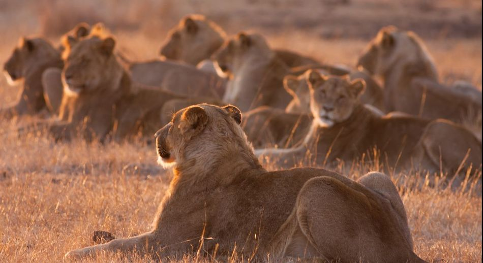South Africa Kruger Park Lions Pack Resting Sunset
