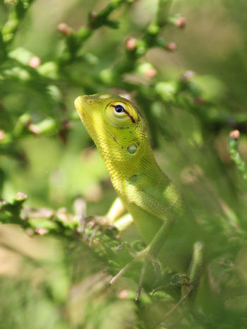 Garden Lizard Reptile Photography Green Color Animal Eye Animal Eyes Lizard Close-up Animal Wildlife