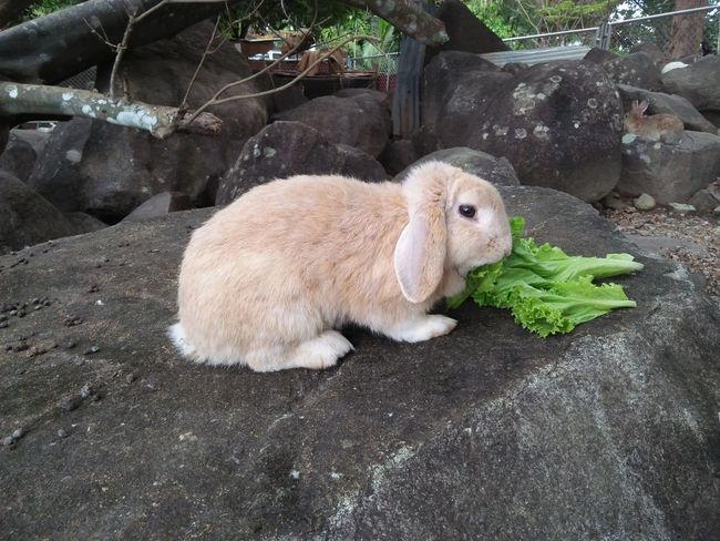 Rabbit eating vegetable in garden Domestic Animals Mammal No People One Animal Animal Themes Pets Outdoors Day Portrait Close-up Nature Rabbit Face Eye Rabbit Zoo Animals  Animal Freshness Animal Eat Gray Cluseup Animal Wildlife Cute Rabbit ,bunny Nature Zoo Animal Rabbit Thailand