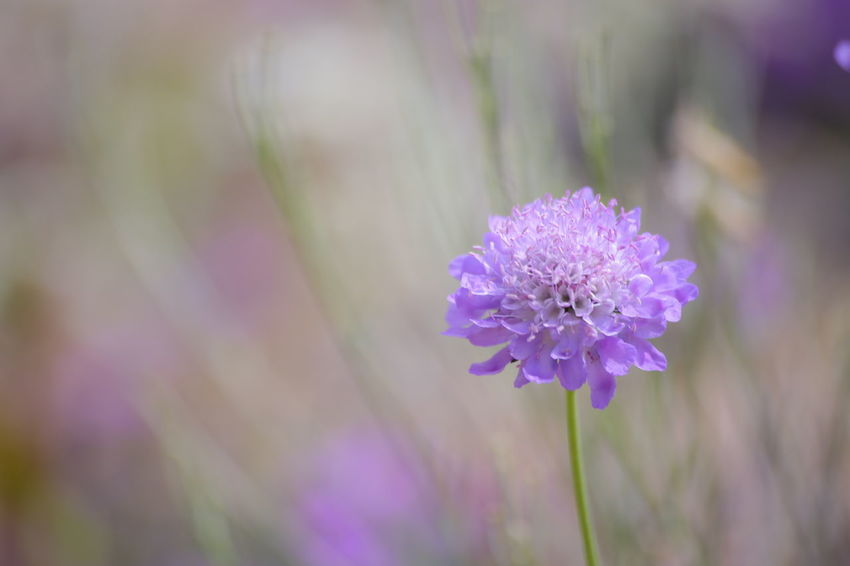 Flower Purple Nature Beauty In Nature Hokkaido Sapporo Autumn EOS 6D