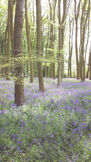 Bluebells Bluebell Wood Bluebells In The Woods Coton Manor Gardens Bluebell Wood Northamptonshire Pastel Power Lavender Colored Flowering Plant Botanical Garden Tree Trunk In Bloom Lush - Description Blossom Woods