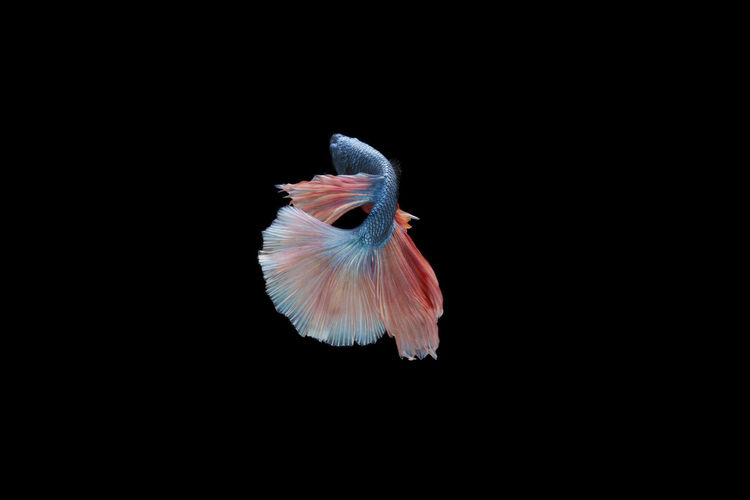 Siamese fighting half moon betta on black Animal Animal Themes Animal Wildlife Animals In The Wild Bird Black Background Close-up Copy Space Cut Out Flying Full Length Indoors  Motion Nature No People One Animal Pets Spread Wings Studio Shot Vertebrate