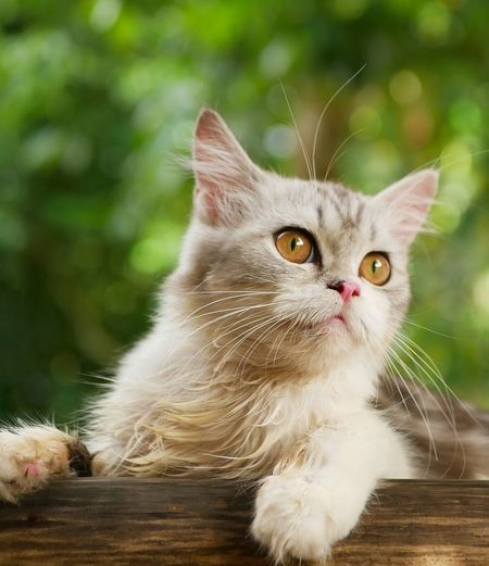 A persian cat with blurry background