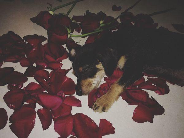 Look at my baby! 🐶 Dog Puppy Xoxo💋💋💋 Babyboy Petals Of Roses Roses Likeforlike #likemyphoto #qlikemyphotos #like4like #likemypic #likeback #ilikeback #10likes #50likes #100likes #20likes #likere Black Modelpuppy