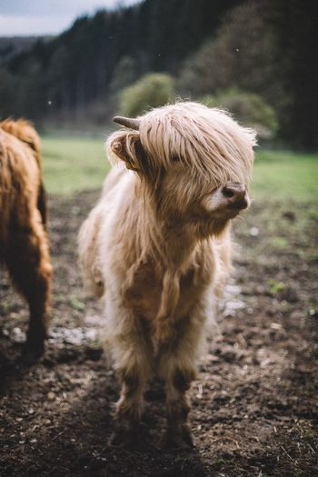 Fluffy haircut Cow Outdoors Animals Traveling Germany Rural VSCO Nature EyeEm Best Shots Landscape Folk Exploring Forest Country Road Road Spring Animal Travel Thuringen