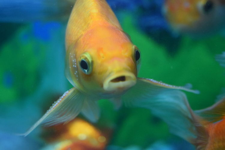 Close-up of goldfish swimming