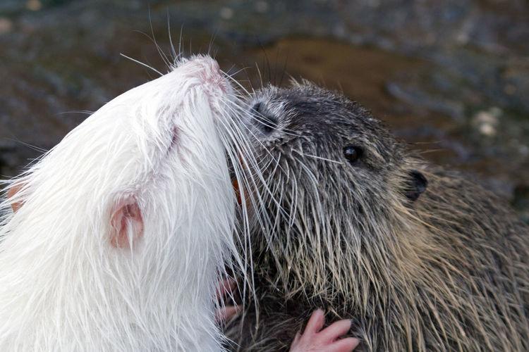 Kissing beavers