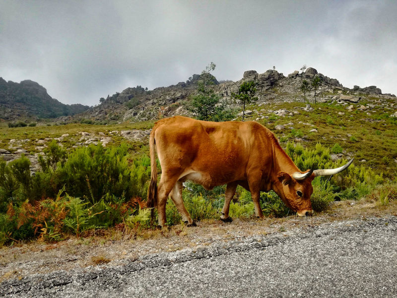 Gerês One Animal Animal Themes Mammal Animals In The Wild Mountain No People Domestic Animals Outdoors Animal Wildlife Day Livestock Nature Grass Landscape Sky Beauty In Nature Nature Animals In The Wild Cow Cows Wild Cows GêresPortugal Geres
