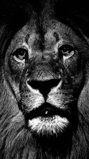 Löwe  Lion Portrait Close-up Looking At Camera Headshot Front View Human Body Part
