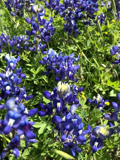 Spring In Texas Spring In Texas Bluebonnet Plant Purple Growth Flowering Plant Beauty In Nature Flower Fragility