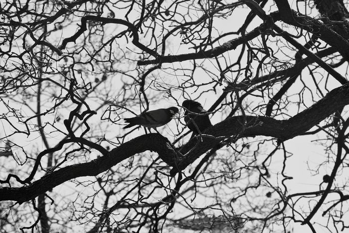 Bird Conversations Raven Duel Trees Black And White EyeEm Best Shots Nature_collection