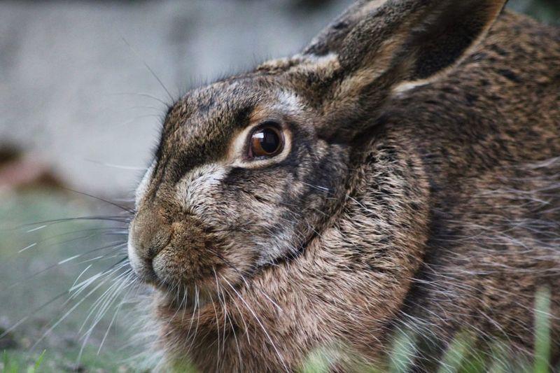 Close up hare portrait