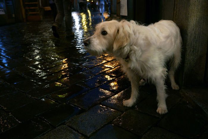 Lonely Dog At Night Street Photography Rainy Night Light Reflection Pavement Italy