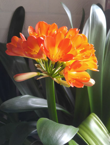Flowers at home 1 Changing Colors Beauty In Nature Blooming Close-up Day Flower Flower Head Fragility Freshness Growth Nature No People Orange Color Orange Yellow Flower Outdoors Petal Plant Tulip The Week On EyeEm Red Yellow Flowers