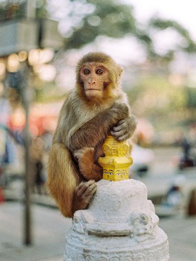 Nepelese monkey